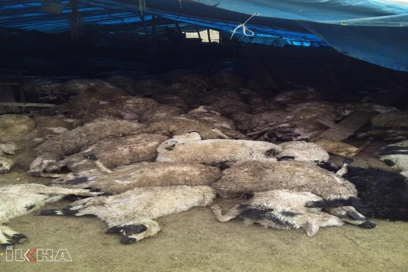 Elazığ'da kurtlar 110 koyunu telef etti