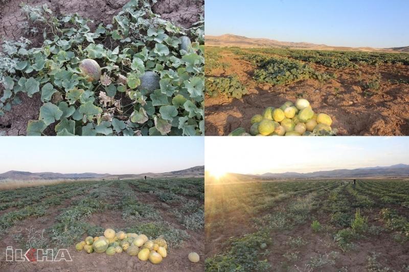 Elâzığ'da meşhur KULTİK KAVUN hasadı başladı