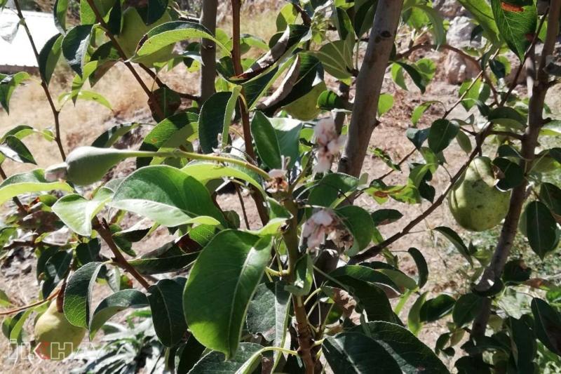 Eylül ayında armut ağacı çiçek açıp meyve tuttu