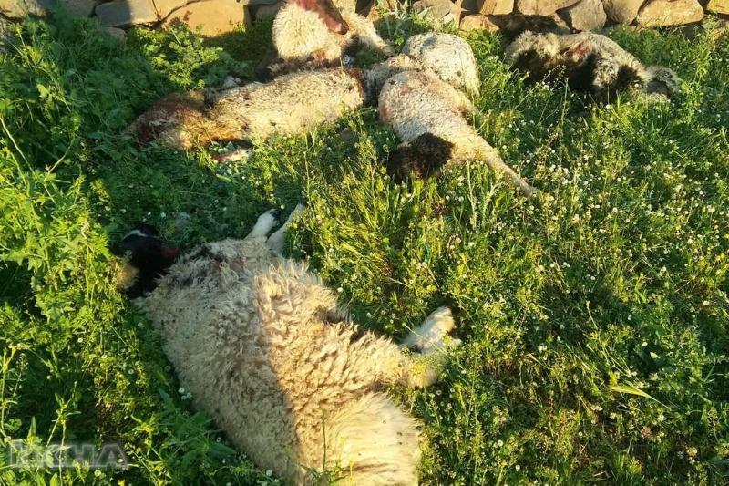 Köye inen kurtlar 6 koyunu telef etti