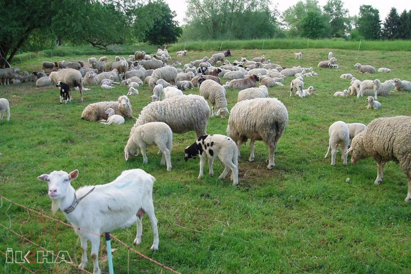 Koyun-keçi yetiştiricilerine 753 milyon desek verilecek